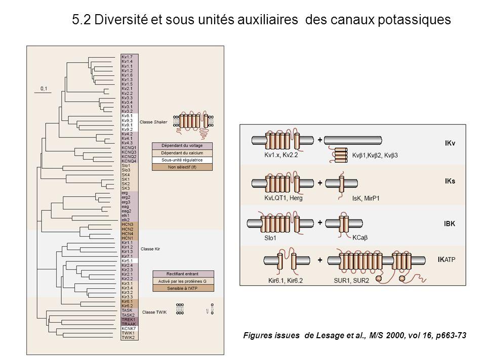 5.2 Diversité et sous unités auxiliaires des canaux potassiques