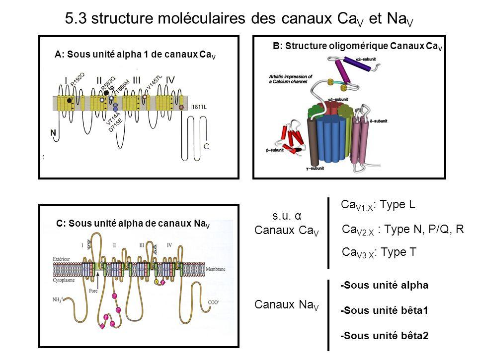5.3 structure moléculaires des canaux CaV et NaV