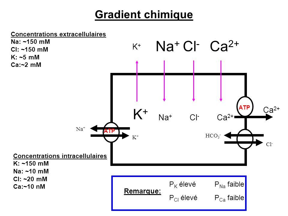 Na+ Cl- Ca2+ K+ Gradient chimique K+ Ca2+ Na+ Cl- Ca2+ PK élevé