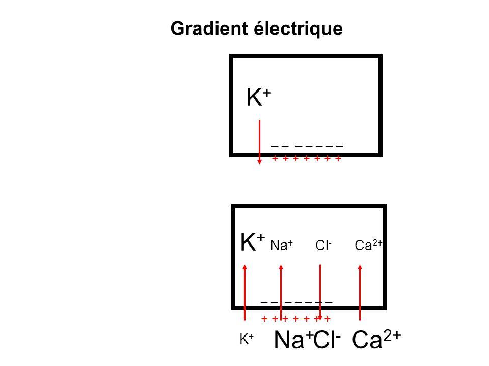K+ K+ Na+ Cl- Ca2+ Gradient électrique Na+ Cl- Ca2+ K+ Genèse
