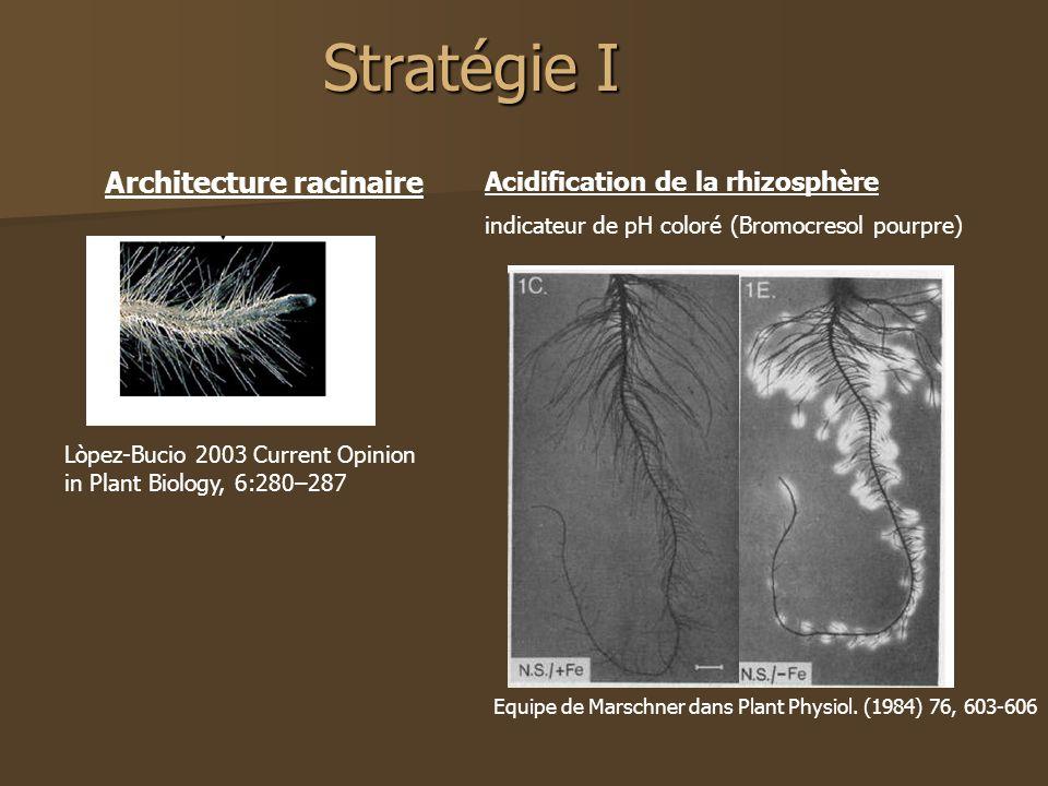 Stratégie I Architecture racinaire Acidification de la rhizosphère