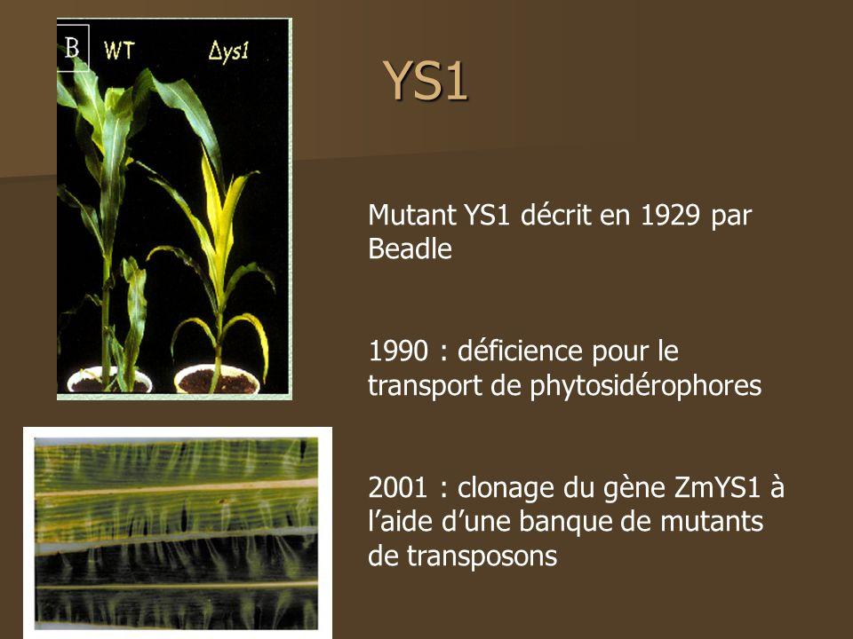 YS1 Mutant YS1 décrit en 1929 par Beadle