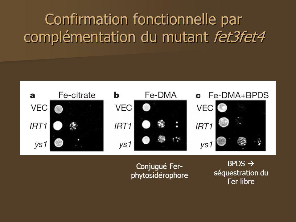 Confirmation fonctionnelle par complémentation du mutant fet3fet4