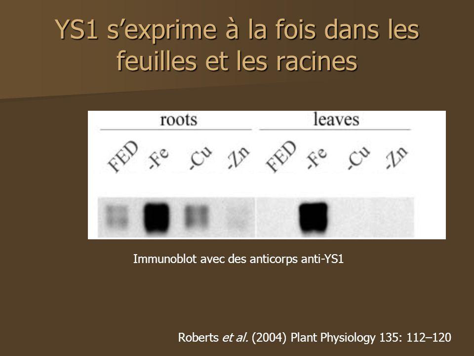 YS1 s'exprime à la fois dans les feuilles et les racines
