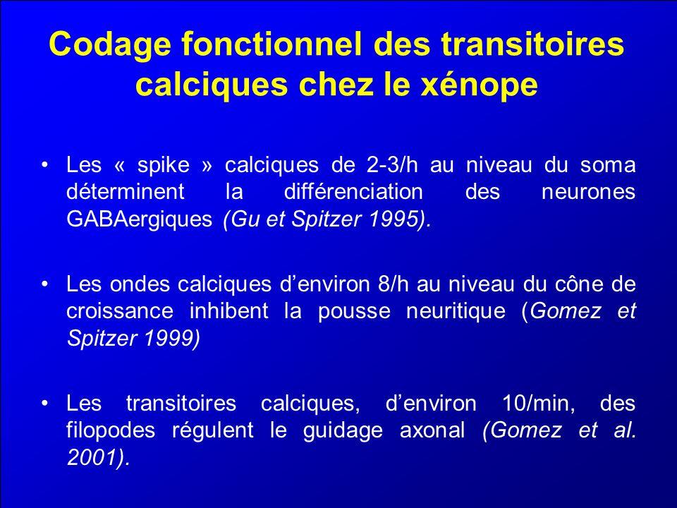 Codage fonctionnel des transitoires calciques chez le xénope