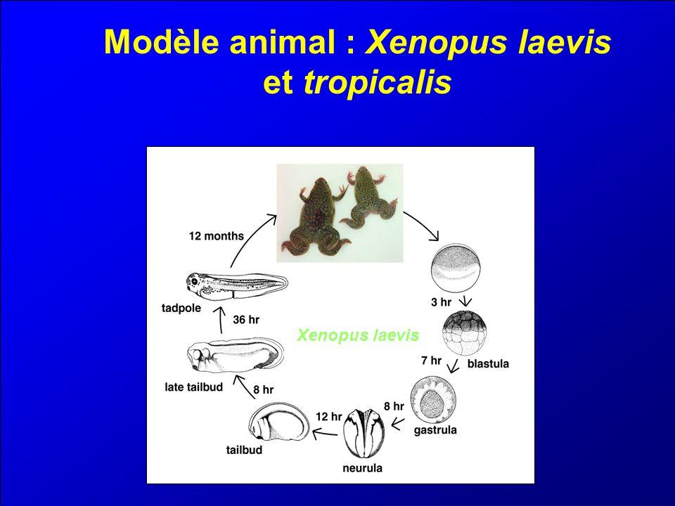 Modèle animal : Xenopus laevis et tropicalis