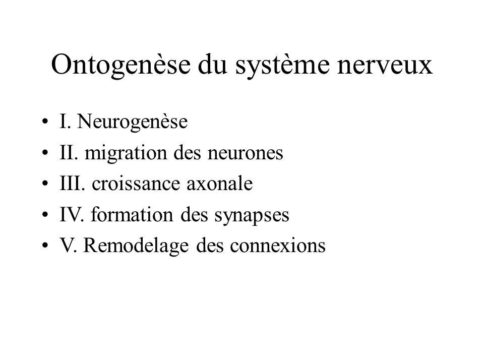 Ontogenèse du système nerveux