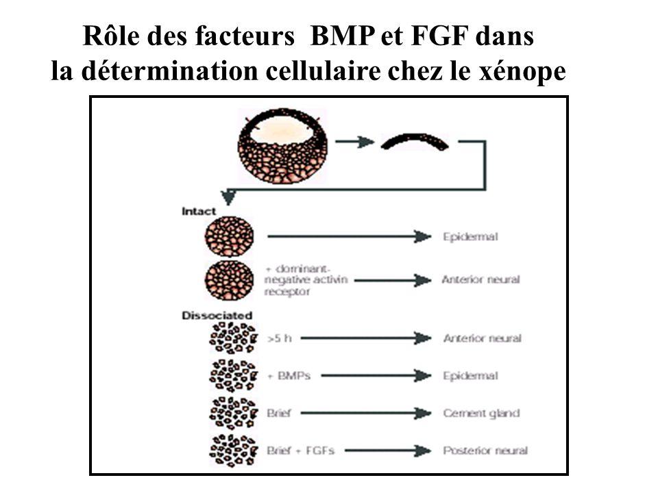 Rôle des facteurs BMP et FGF dans