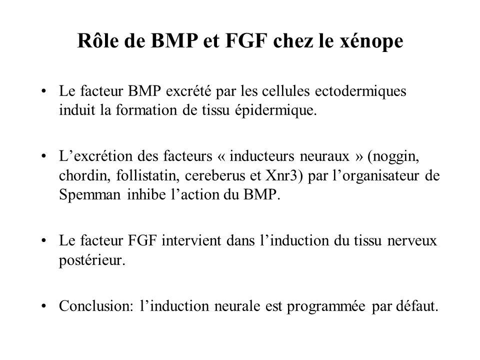 Rôle de BMP et FGF chez le xénope
