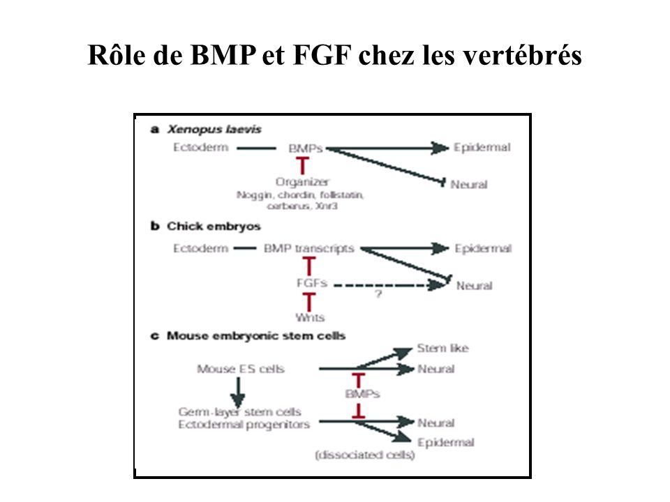 Rôle de BMP et FGF chez les vertébrés