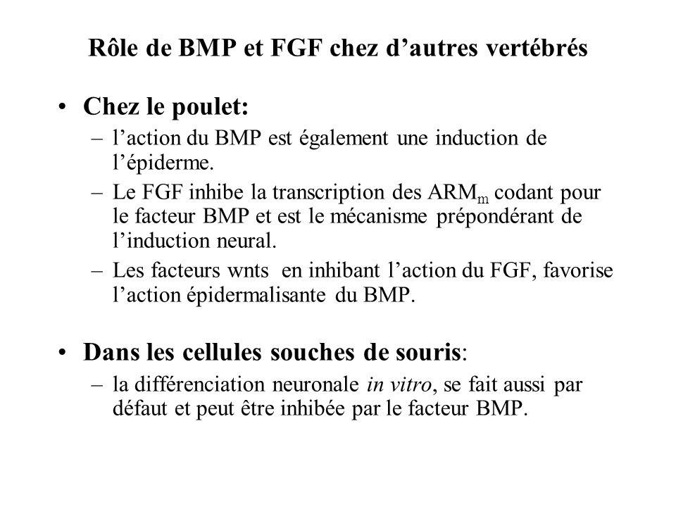 Rôle de BMP et FGF chez d'autres vertébrés