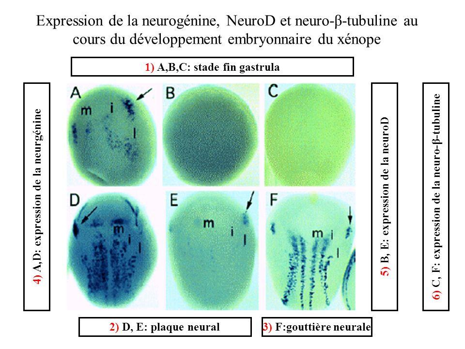 Expression de la neurogénine, NeuroD et neuro-β-tubuline au cours du développement embryonnaire du xénope