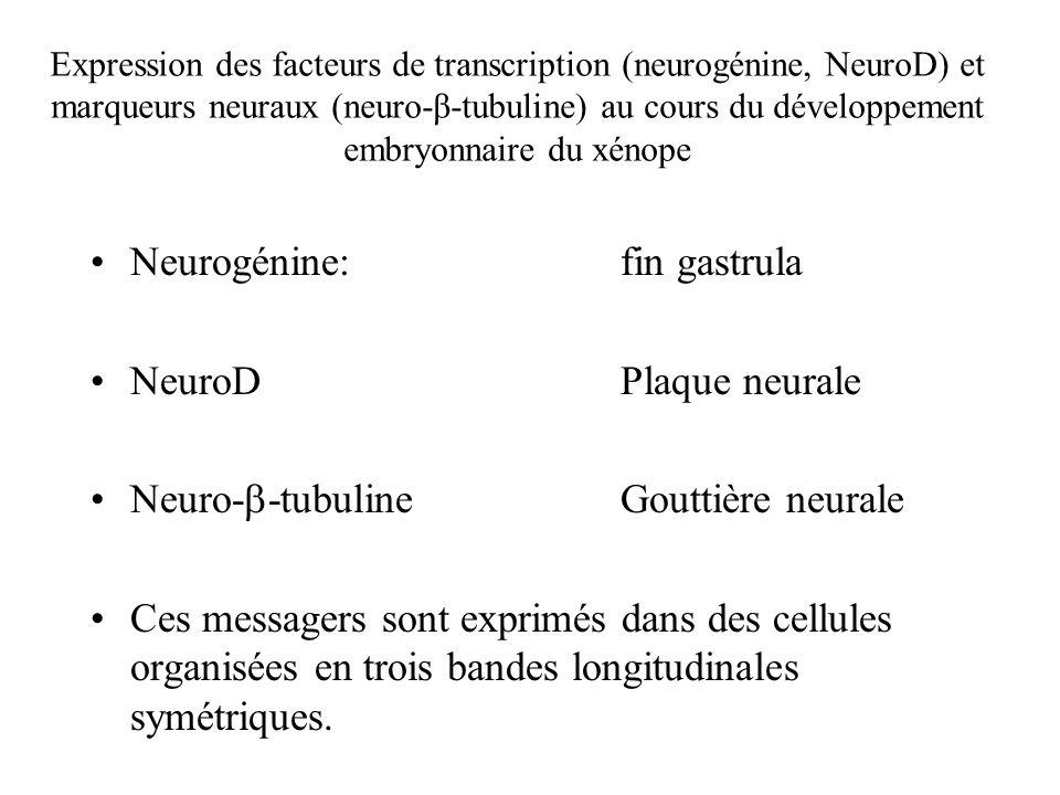 Neurogénine: fin gastrula NeuroD Plaque neurale