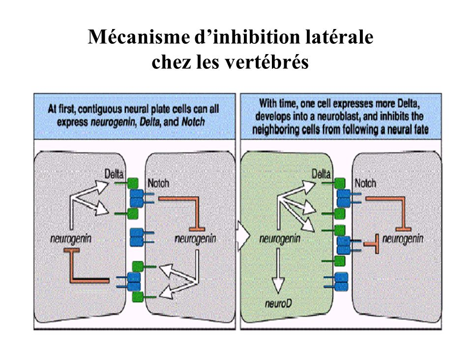 Mécanisme d'inhibition latérale