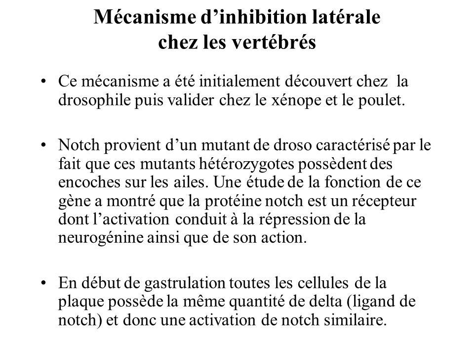 Mécanisme d'inhibition latérale chez les vertébrés