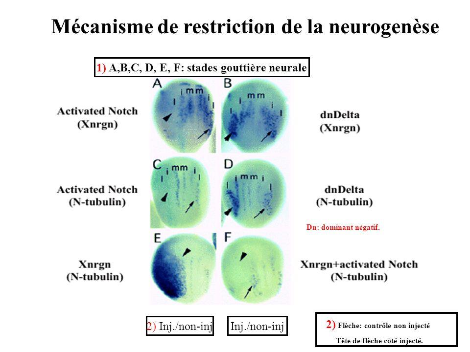 1) A,B,C, D, E, F: stades gouttière neurale