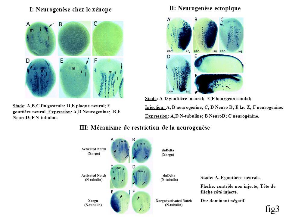 fig3 II: Neurogenèse ectopique I: Neurogenèse chez le xénope