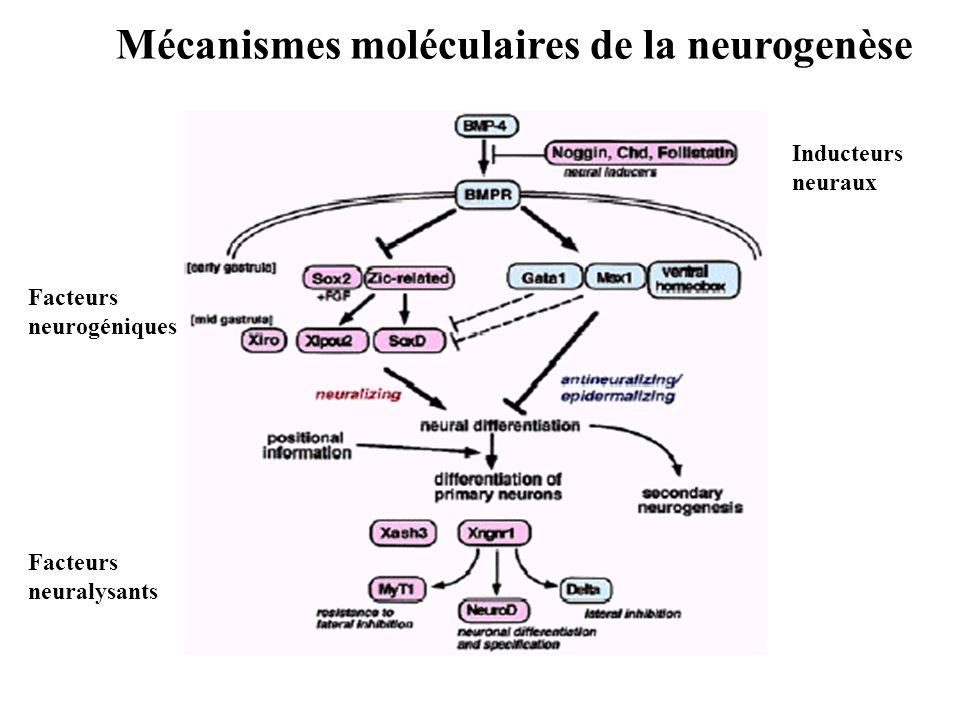 Mécanismes moléculaires de la neurogenèse