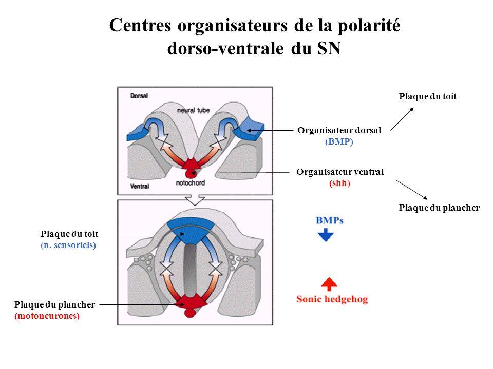 Centres organisateurs de la polarité