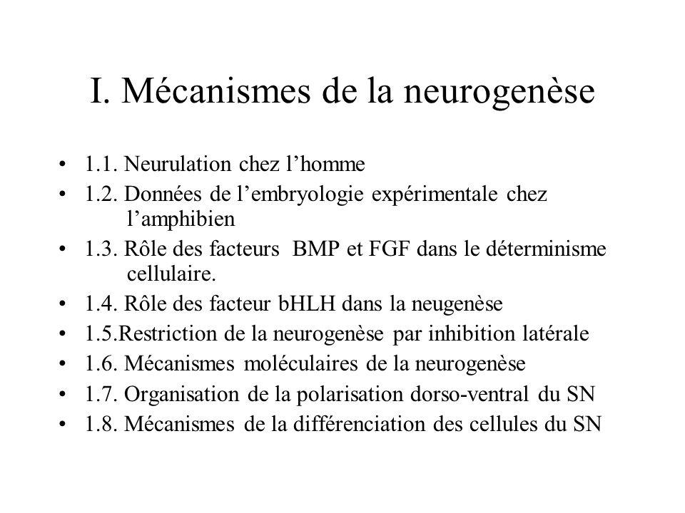 I. Mécanismes de la neurogenèse