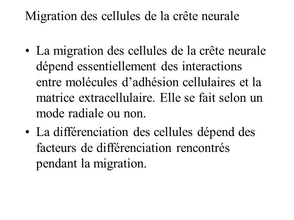 Migration des cellules de la crête neurale