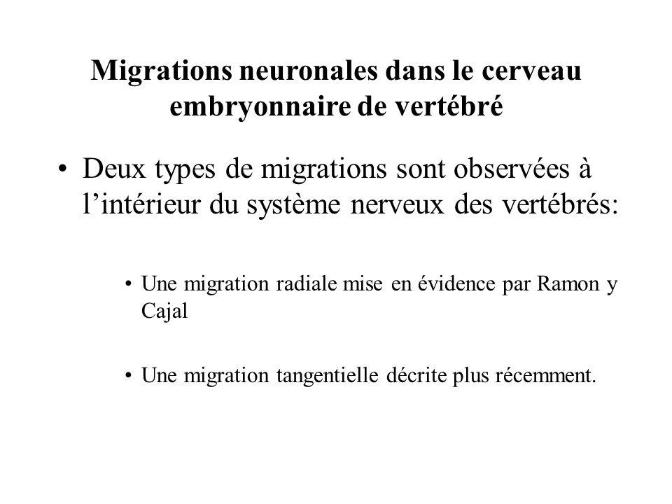 Migrations neuronales dans le cerveau embryonnaire de vertébré