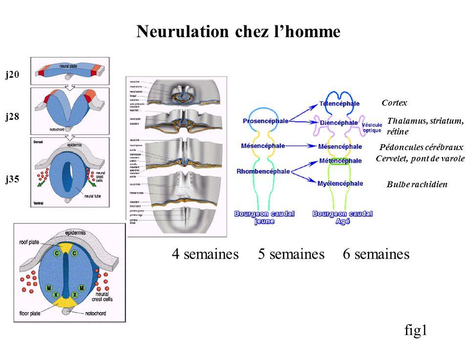 Neurulation chez l'homme