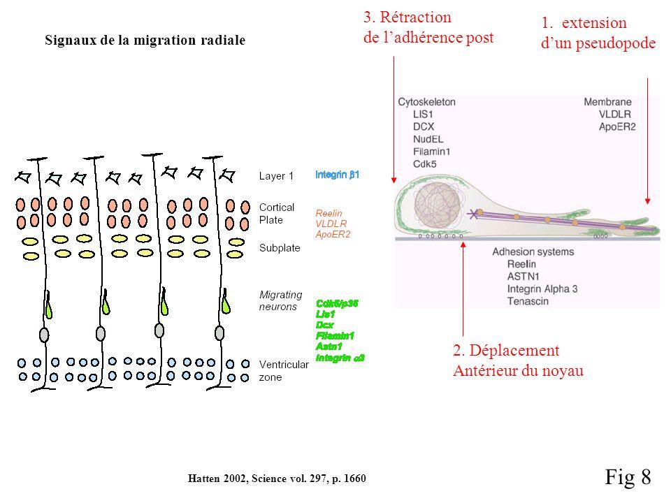 Fig 8 3. Rétraction 1. extension de l'adhérence post d'un pseudopode