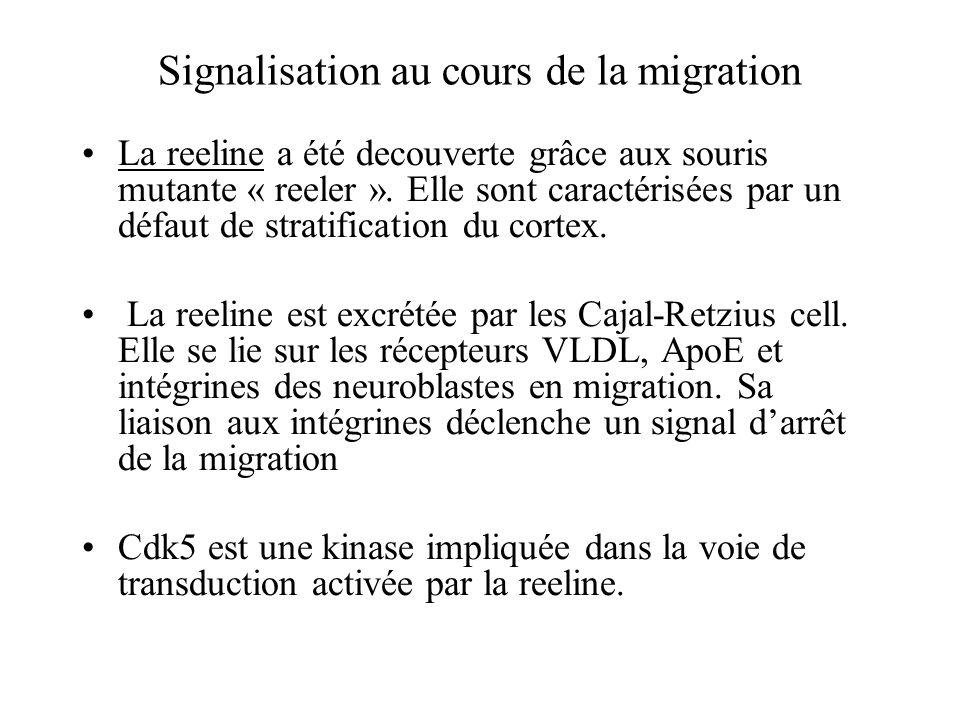 Signalisation au cours de la migration