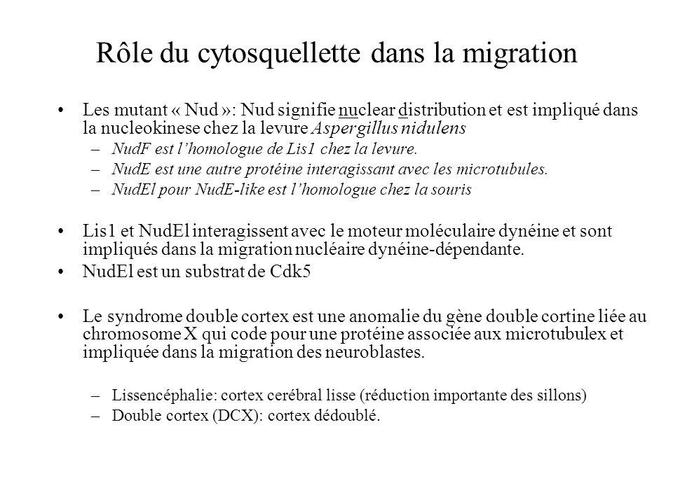 Rôle du cytosquellette dans la migration