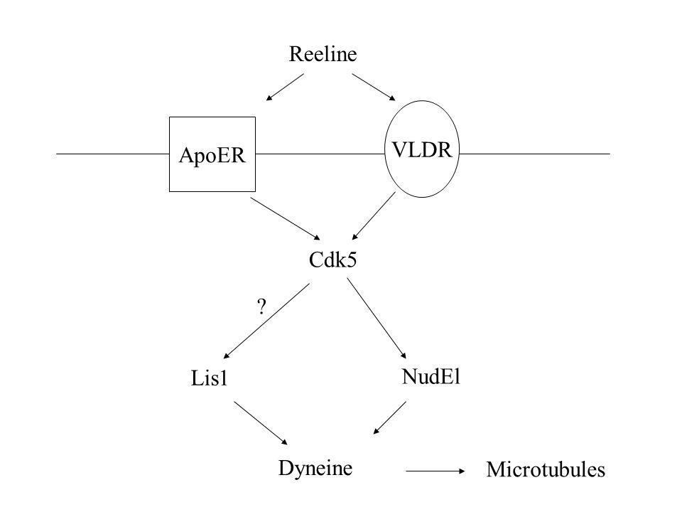 Reeline VLDR ApoER Cdk5 Lis1 NudEl Dyneine Microtubules