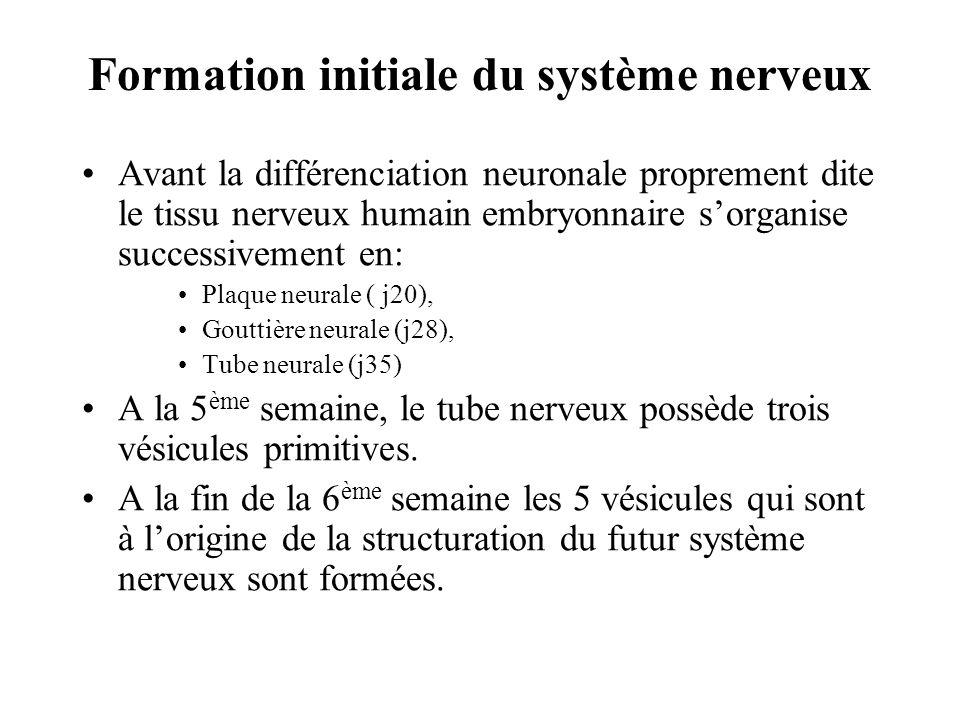 Formation initiale du système nerveux
