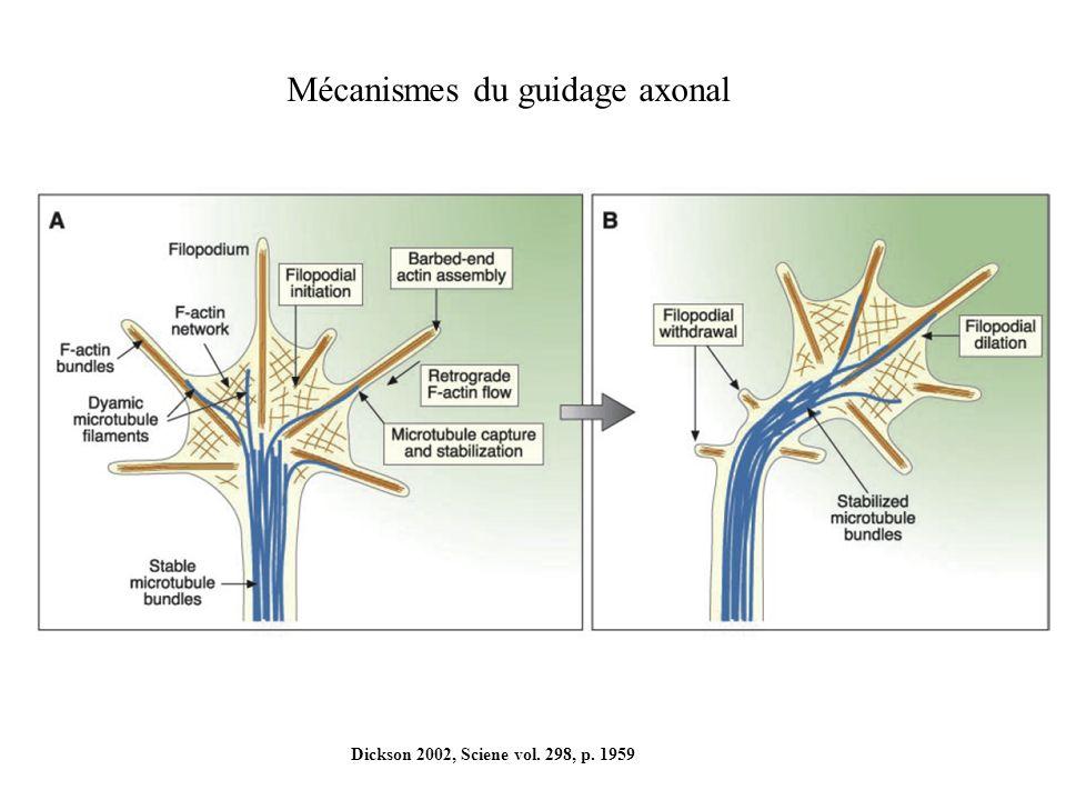 Mécanismes du guidage axonal