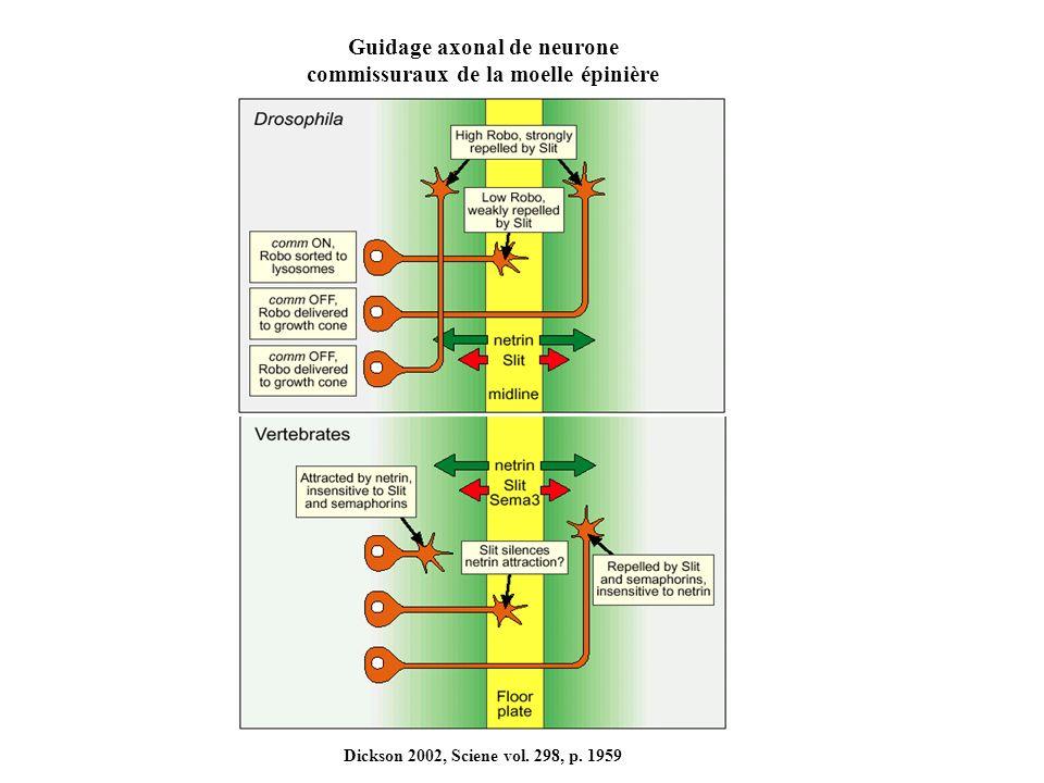 Guidage axonal de neurone commissuraux de la moelle épinière