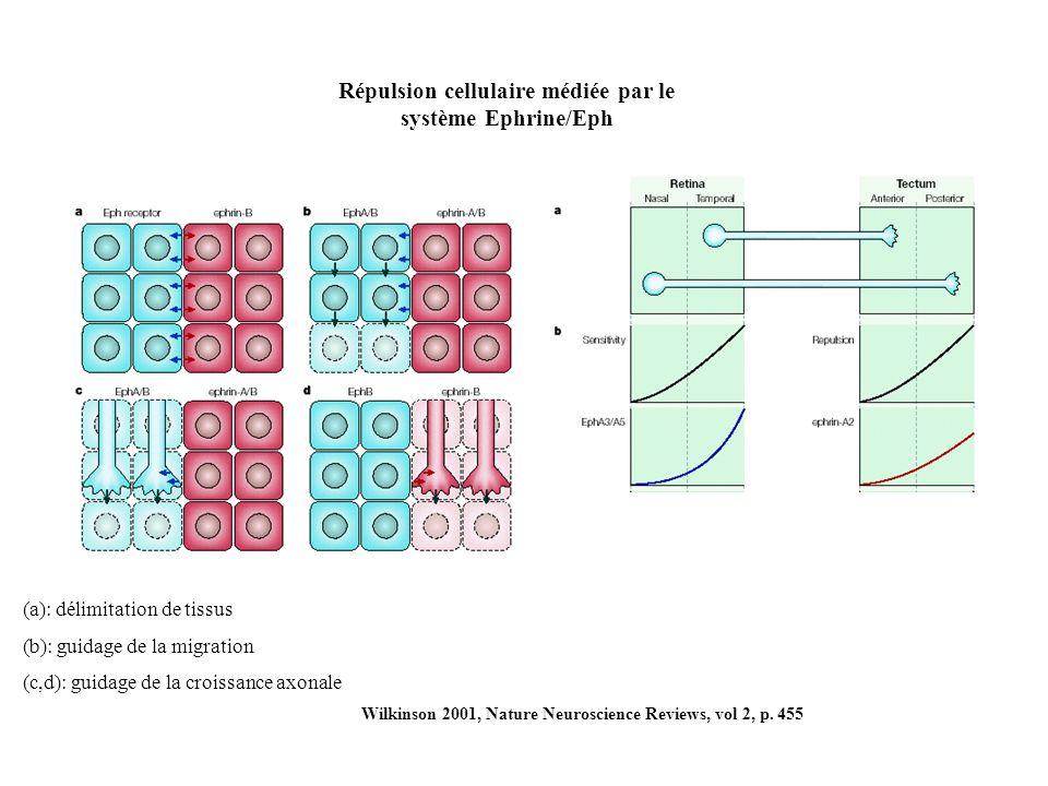 Répulsion cellulaire médiée par le système Ephrine/Eph