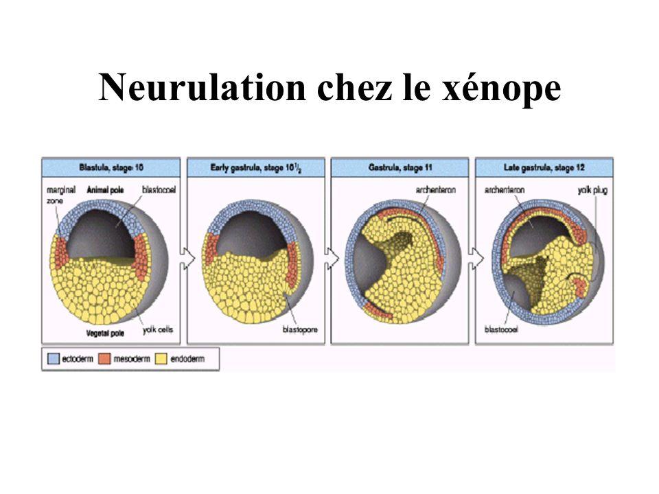 Neurulation chez le xénope