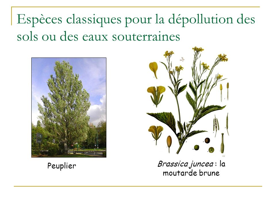 Brassica juncea : la moutarde brune
