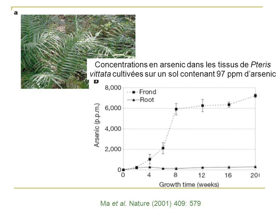 Concentrations en arsenic dans les tissus de Pteris vittata cultivées sur un sol contenant 97 ppm d'arsenic