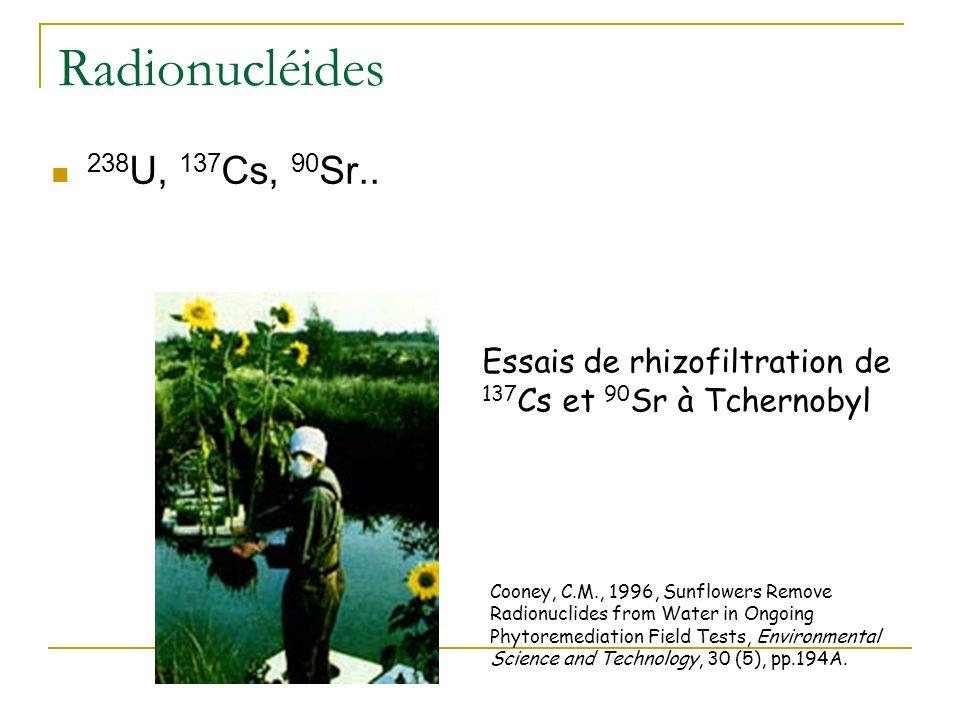 Radionucléides 238U, 137Cs, 90Sr.. Essais de rhizofiltration de 137Cs et 90Sr à Tchernobyl.