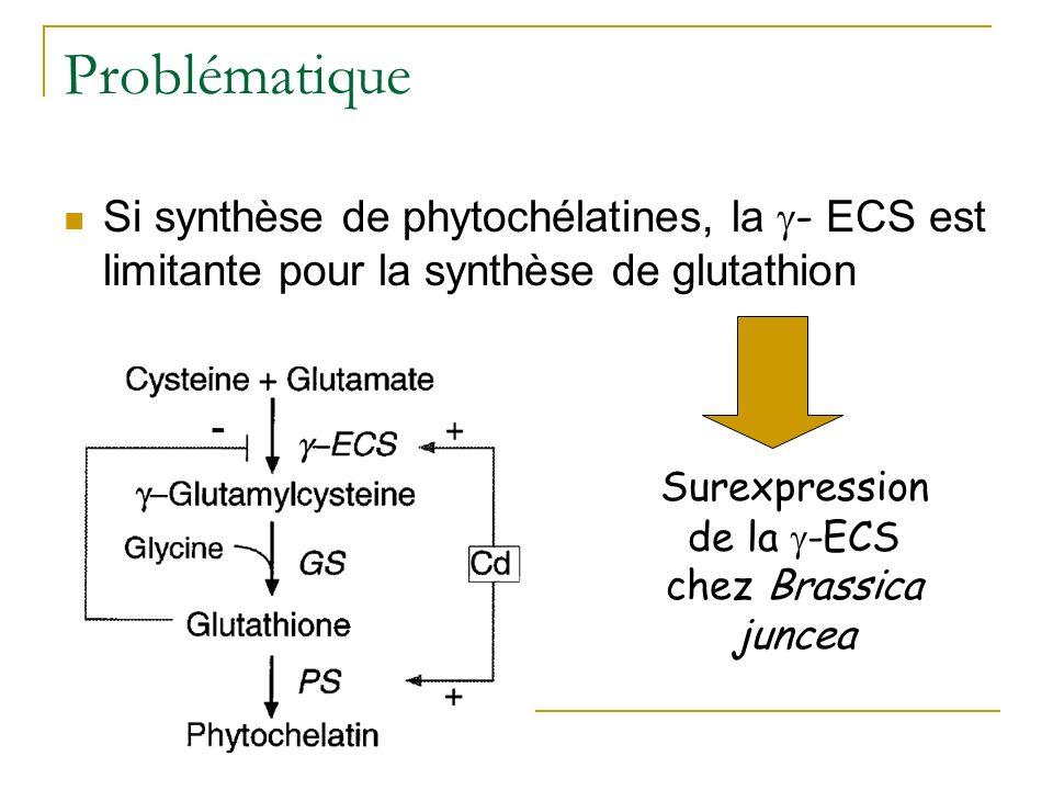 Surexpression de la -ECS chez Brassica juncea