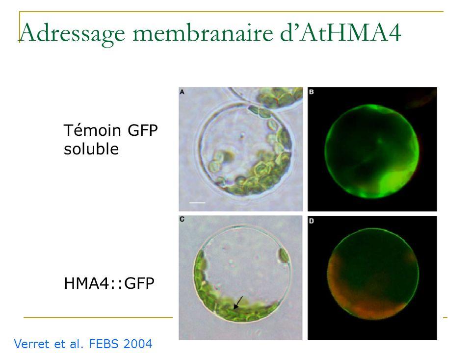 Adressage membranaire d'AtHMA4