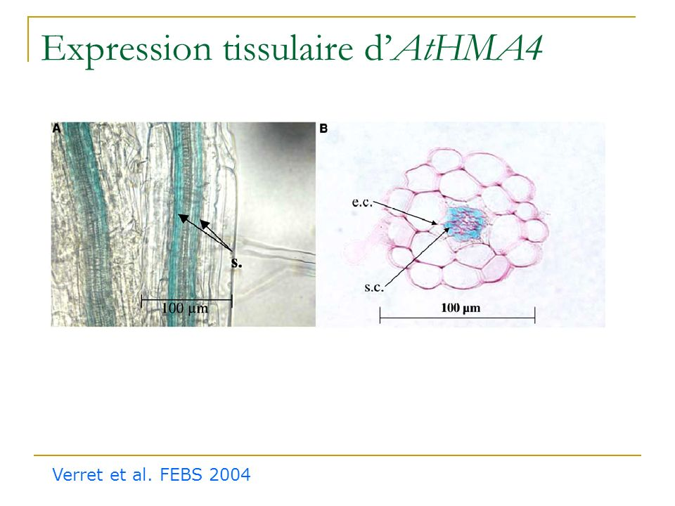 Expression tissulaire d'AtHMA4
