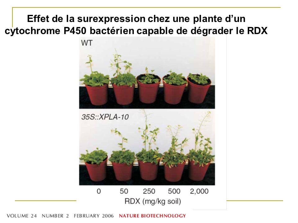 Effet de la surexpression chez une plante d'un cytochrome P450 bactérien capable de dégrader le RDX