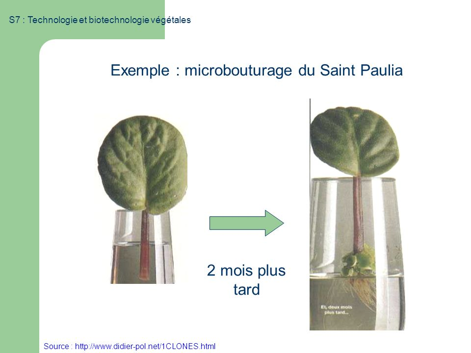 Exemple : microbouturage du Saint Paulia