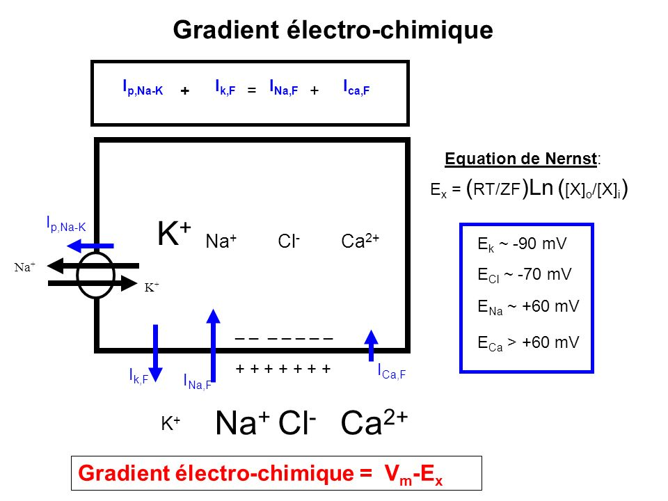 K+ Gradient électro-chimique Gradient électro-chimique = Vm-Ex Na+ Cl-
