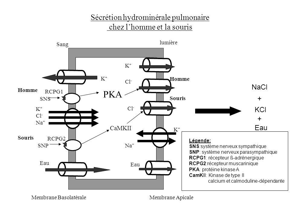 PKA Sécrétion hydrominérale pulmonaire chez l'homme et la souris NaCl