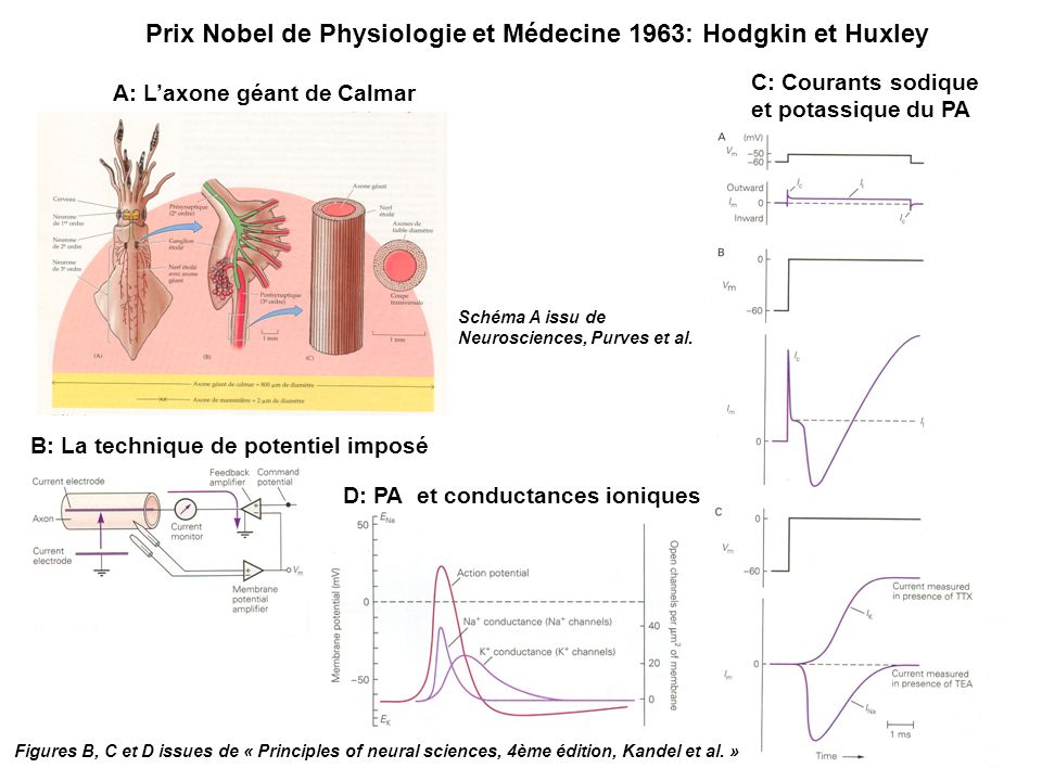Prix Nobel de Physiologie et Médecine 1963: Hodgkin et Huxley