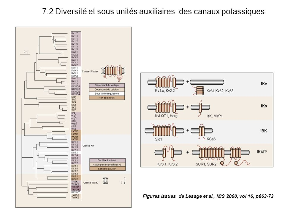7.2 Diversité et sous unités auxiliaires des canaux potassiques