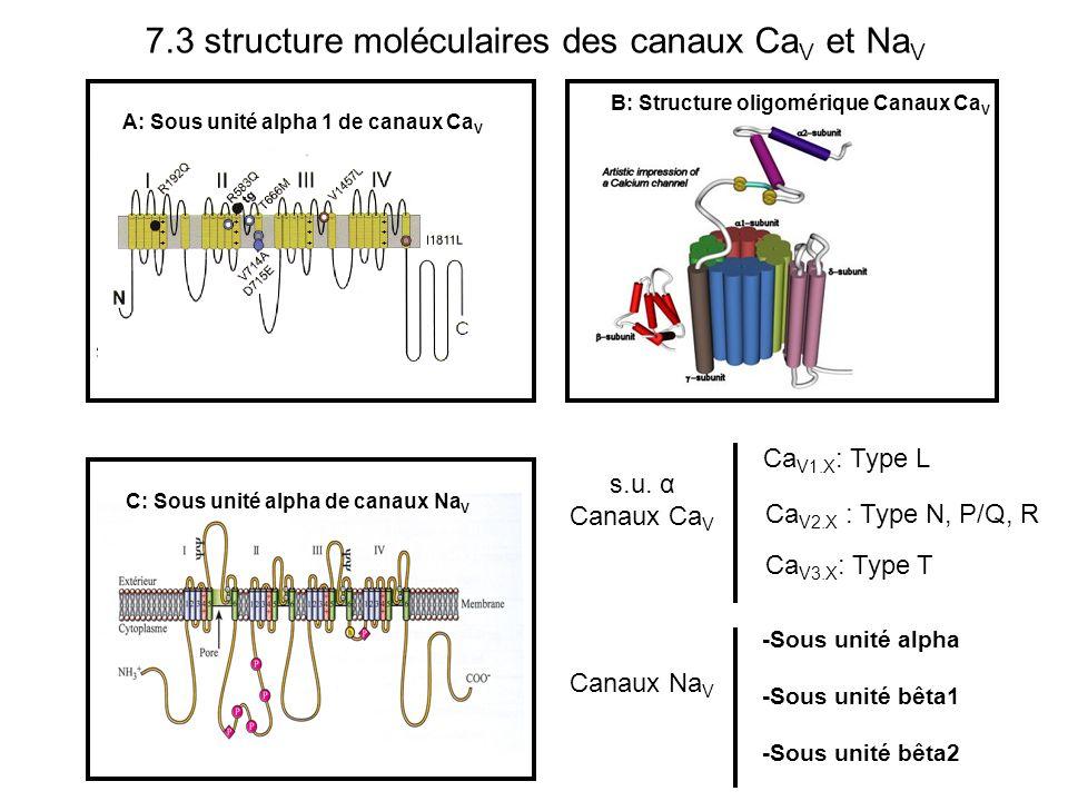 7.3 structure moléculaires des canaux CaV et NaV