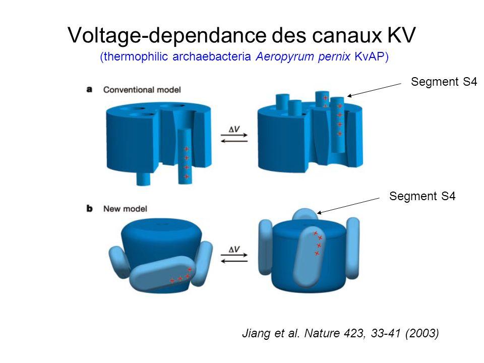 Voltage-dependance des canaux KV